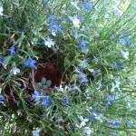 Bird's nest amongst lobelia flowers