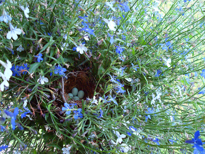 Bird's nest amongst lobelia flowers